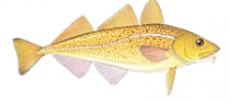 Atlantic Cod web