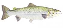 Atlantic Salmon - Credit: Bernard Yau www.efishalbum.com