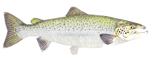 Atlantic_Salmon_web