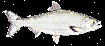 Chinook Salmon - Credit: Bernard Yau www.efishalbum.com