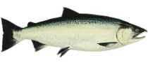 Coho Large - Credit: Public Domain