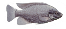 Tilapia - Credit: Duane Raver, U.S. Fish and Wildlife Service