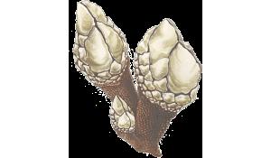 leaf-barnacle