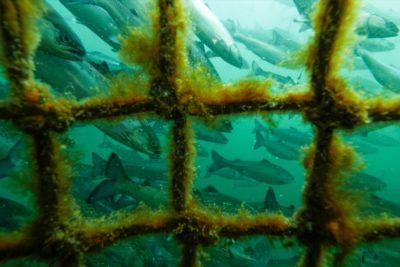 Photo: Tavish Campbell, open-net pen salmon farm underwater